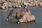 Oryx Gemsbok (Oryx gazella gazella), Parc National d'Etosha, Namibie, Afrique