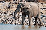 L'éléphant d'Afrique (Loxodonta africana), Parc National d'Etosha, Namibie, Afrique