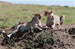 Cheetah (Acynonix jubatus), Masai Mara, Kenya, East Africa, Africa