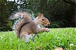 Écureuil gris (Sciurus carolinensis), dans le parc de la ville, le parc de Brandon, Bristol, Angleterre, Royaume-Uni, Europe