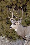Mule deer (Odocoileus hemionus) buck, Heron Lake State Park, New Mexico, United States of America, North America