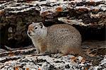 Uinta spermophile (Spermophilus armatus), Parc National de Yellowstone, Wyoming, États-Unis d'Amérique, l'Amérique du Nord