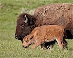 Bison (Bison bison) vache et veau, Parc National de Yellowstone, Wyoming, États-Unis d'Amérique, l'Amérique du Nord