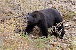 Schwarzbär (Ursus Americanus) Essen von Beeren, Jasper Nationalpark, Alberta, Kanada, Nordamerika