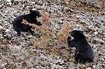 Schwarzbär (Ursus Americanus) Jungtiere Essen kanadischen Stachelbeere Beeren, Jasper Nationalpark, Alberta, Kanada, Nordamerika