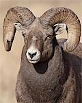 Ram de mouflons (Ovis canadensis), Clear Creek County, Colorado, États-Unis d'Amérique, Amérique du Nord