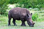 White rhinoceros (Ceratotherium simum), Namibie, Afrique