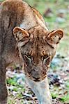 Young lion (Panthera leo), Namibia, Africa