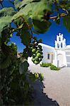 Trauben und Kirche, Santorini, Cyclades, griechische Inseln, Griechenland, Europa