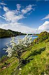 Weißdorn Baum in Blüte, Meldon Reservoir, Dartmoor Nationalpark, Devon, England, Vereinigtes Königreich, Europa