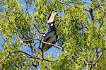 Male Malabar Pied Hornbill (anthracoceros coronatus), Yala National Park, Sri Lanka, Asia