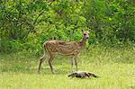 Ceylon spotted deer hind and Land monitor lizard, Yala National Park, Sri Lanka, Asia