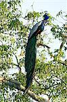 Indian Peafowl (pavo cristatus), Yala National Park, Sri Lanka, Asia