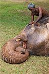 Mahoot lavage des éléphants asiatiques en captivité (Elephas maximus maximus) avec brou de noix de coco avant Perahera de Colombo, Sri Lanka, Asie