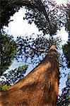 Giant Redwood (Sequoiadendron Giganteum), Royal Botanic Gardens, Kew, London, England, Vereinigtes Königreich, Europa