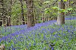 Glockenblumen in Middleton Wäldern nahe Ilkley, West Yorkshire, Yorkshire, England, Vereinigtes Königreich, Europa