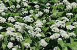 Bärlauch (Bärlauch) (Allium Ursinum) Teppichboden Wald-Boden, Wiltshire, England, Vereinigtes Königreich, Europa