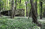 Wild garlic (ramsons) (Allium ursinum) carpeting woodland floor around limestone outcrop, Wiltshire, England, United Kingdom, Europe