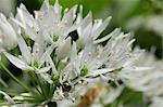 Gros plan de l'ail (ail) (Allium ursinum) tapis de sol forestier, Wiltshire, Angleterre, Royaume-Uni, Europe