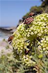 Italien rayé pentatomes (Graphosoma lineatum italicum) sur salicorne rock (Crithmum maritimum), Samos, Grèce