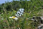 Thread ailé lion des pucerons ou Spoonwing chrysope (Nemoptera sinuata) se nourrissant de Marguerite Ox (Leucanthemum vulgare), Lesbos, Grèce