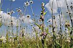 Bienen-Ragwurz (Ophrys Apifera) blüht im Heu Wiese neben Ochsen-Auge Gänseblümchen (Margeriten) (Leucanthemum Vulgare), Wiltshire, England, Vereinigtes Königreich, Europa