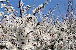 Schlehdorns (Prunus Spinosa) in voller Blüte, Cornwall, England, Vereinigtes Königreich, Europa