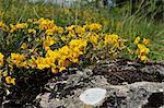 Floraison vesce de fer à cheval (Hippocrepus comosa) dans la prairie de craie Prairies, Wiltshire, Angleterre, Royaume-Uni, Europe