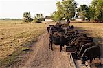 Herd of cows feeding in field