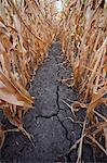 Le crack dans le champ de maïs sec