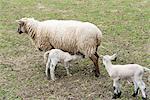 Schafe ihre Lämmer Krankenpflege