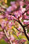 Branches d'arbres Redbud en pleine floraison