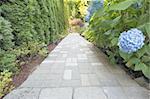 Hydrangea Flowers Blooming Along Concrete Pavers Brick Walkway