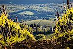 Vignoble, San Gimignano, Province de Sienne, Toscane, Italie