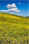 Field of Canola Flowers, San Quirico d ' Orcia, Provinz Siena, Toskana, Italien