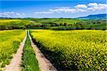 Route à travers champ de fleurs de Canola, San Quirico d'Orcia, Province de Sienne, Toscane, Italie