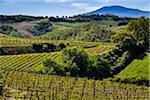 Vineyard, Montalcino, Val d'Orcia, Province of Siena, Tuscany, Italy