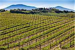 Vignoble, Montalcino, Val d'Orcia, Province de Sienne, Toscane, Italie
