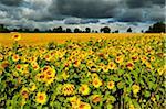 Sunflowers, Black Forest, Schwarzwald-Baar, Baden-Wurttemberg, Germany