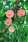 Peaches on a tree in Fukushima Prefecture