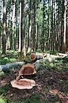Japanese cedar woods