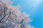 Cherry tree and blue sky