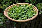 Frische Kräuter in einem geflochtenen Korb auf einem Gartenzaun