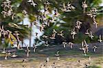Flock of Sand Plovers, Whitesands, Inhambane, Mozambique