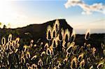 Fleurs de quenouille avec la silhouette de la montagne derrière, Table Mountain National Park, Cape Town, Western Cape, Afrique du Sud