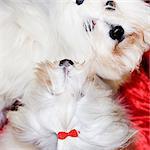 Vue grand angle de deux chiens blancs