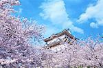 Odawara Castle Cherry Blossoms, Japan
