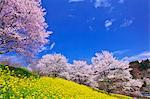 Fleurs du viol et Sakura, préfecture de Nagano, Japon