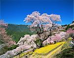 Colza et cerisiers en fleurs, Niyodogawa, préfecture de Kochi, Japon