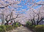 Cherry Blossom In Kamakura, Kanagawa Prefecture, Japan